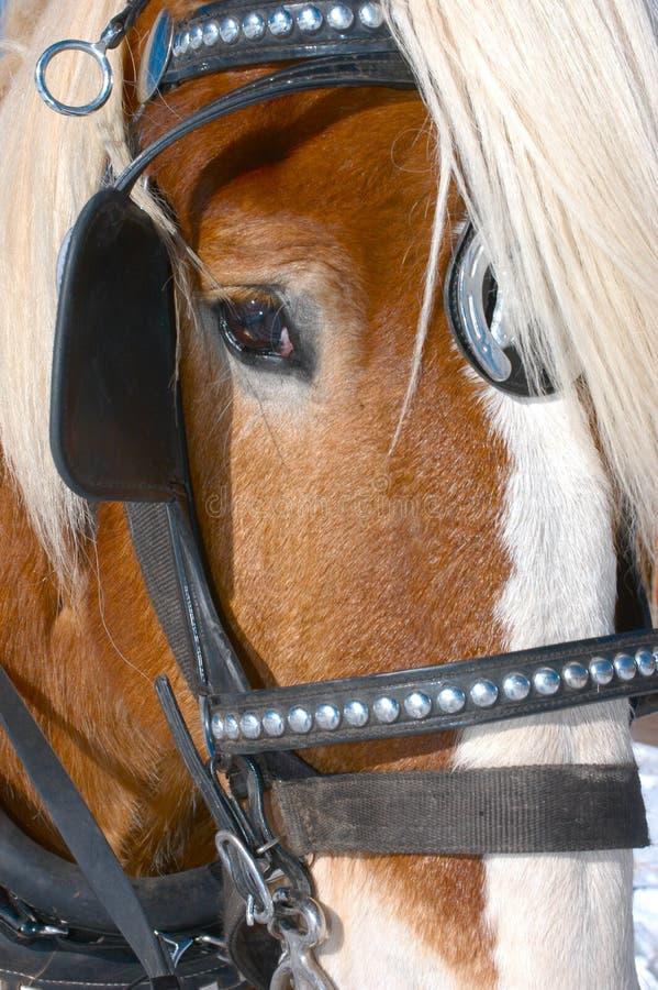 Face e olhos do cavalo com breio foto de stock