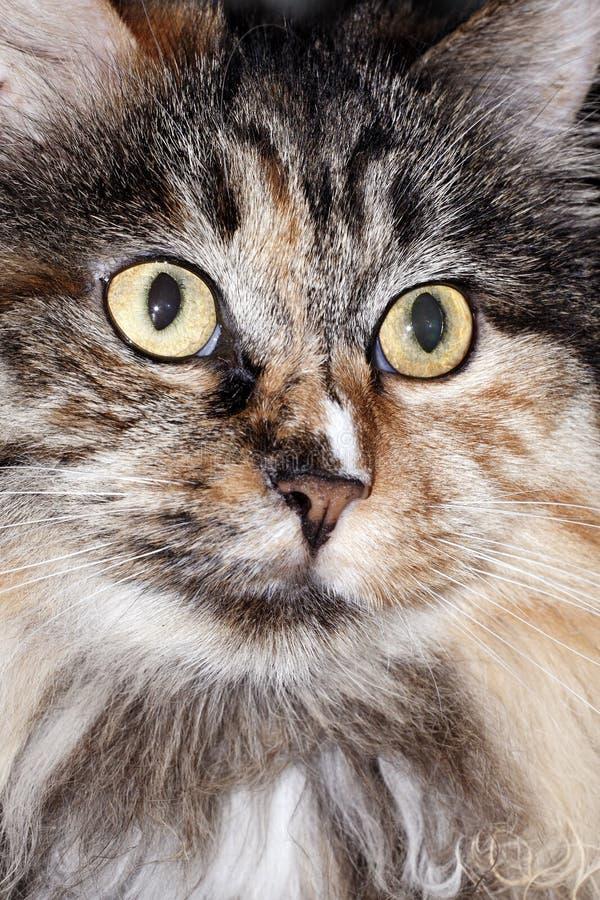 Face encantadora do gato foto de stock royalty free