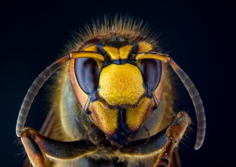 Face of European hornet Vespa on black background stock photos