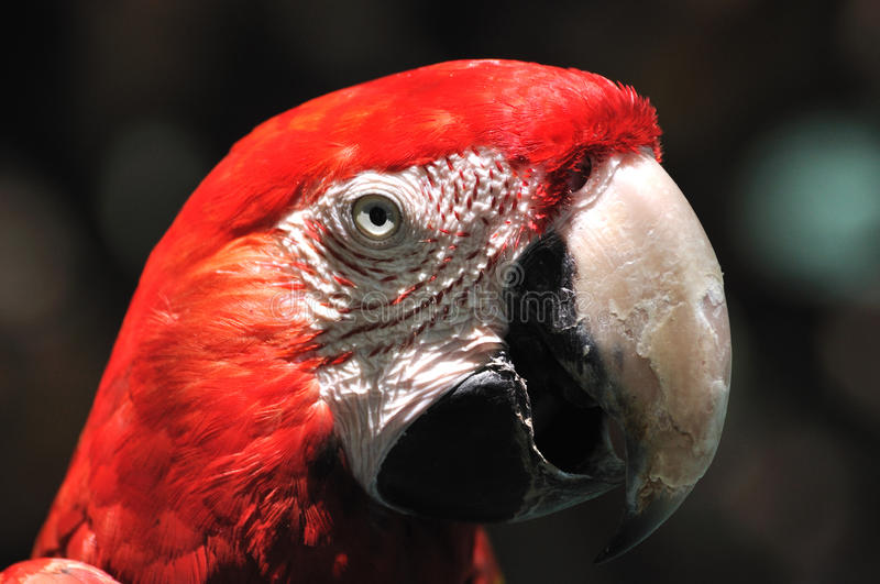 Face and eye feature of a macaw