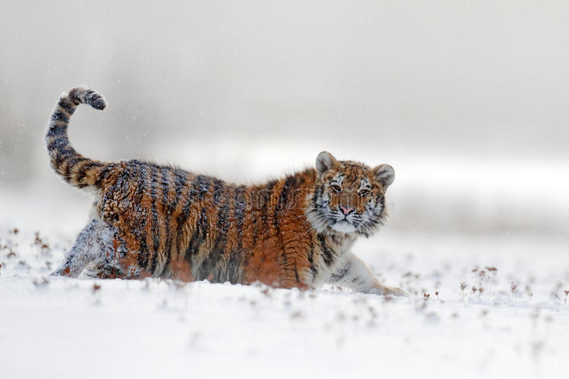 Face fixed tiger look. Siberian tiger in snow fall. Amur tiger running in the snow. Action wildlife winter scene with danger anima royalty free stock images