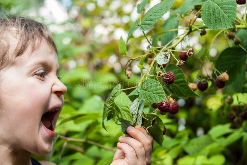 Face of a four years old girl with wide open mouth, holding a branch in her hand and ready to eat a berry. Portrait of a four-five years old girl holding a stock photography