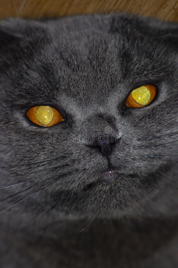 The face of a gray fold Scottish cat with large yellow eyes. Pets. Background royalty free stock image