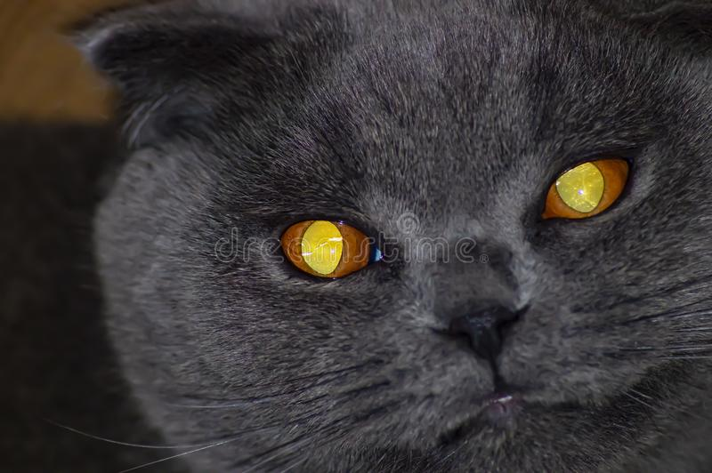 The face of a gray fold Scottish cat with large yellow eyes. Pets. Background stock photo