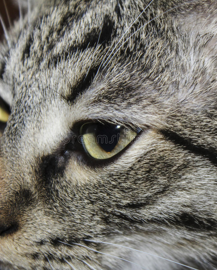 Face of gray stripped cat with half-closed eyes royalty free stock photography