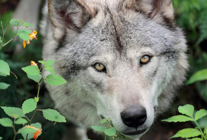 Face of gray wolf stock photography