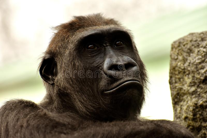 Face, Great Ape, Fauna, Mammal stock image