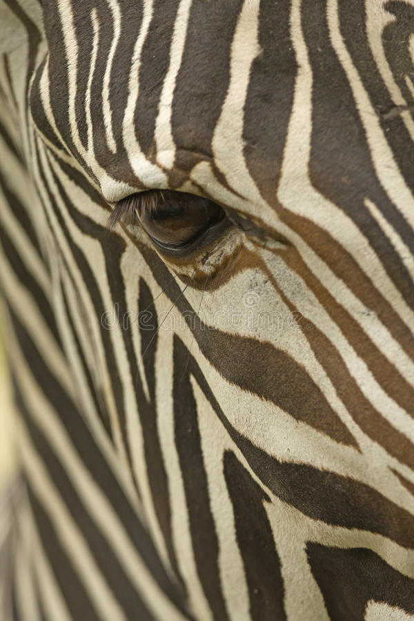Download Face Of A Grevy's Zebra Close Up Stock Image - Image: 26387865