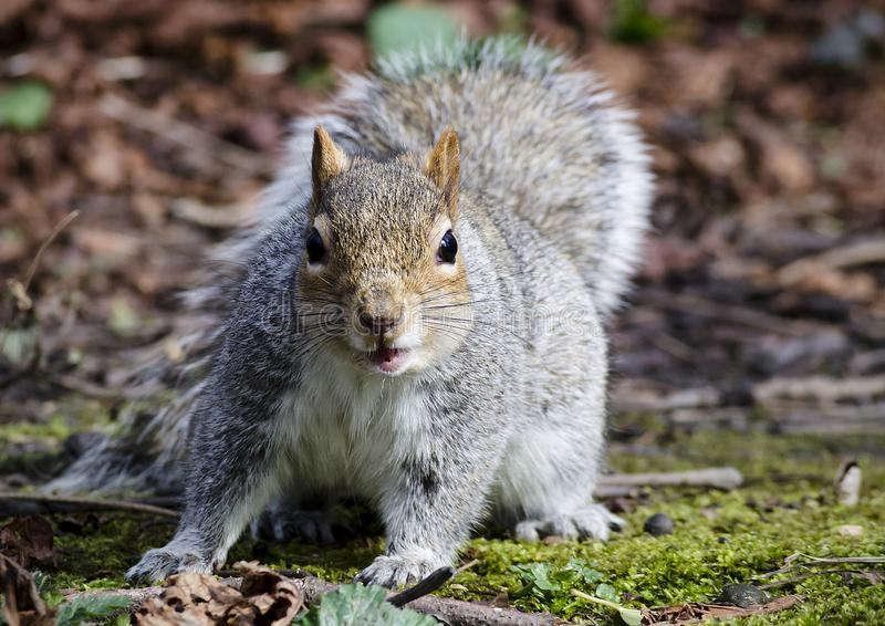 A face on image of a grey squirrel stock images