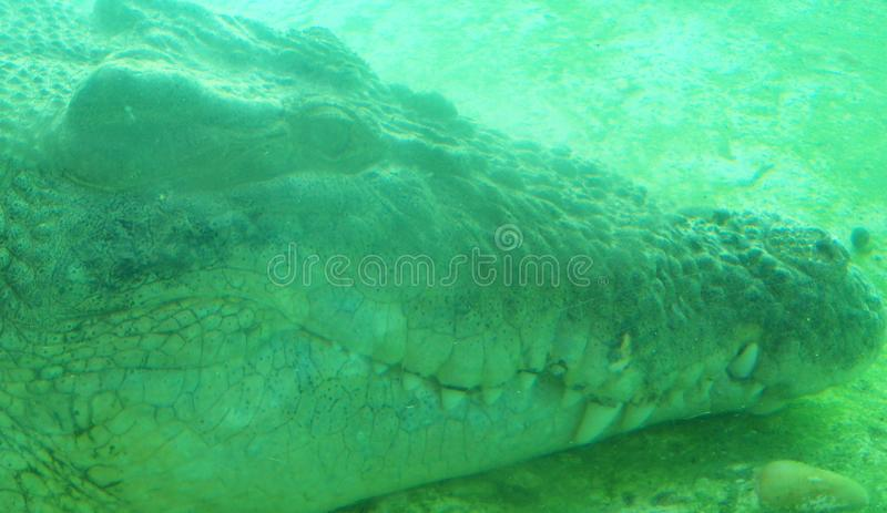 The face of an alligator in an eerie green light. The face of a large alligator is eerie in the green light royalty free stock photos