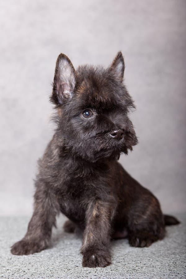 Face of little puppy. Little black puppy studio portrait stock image