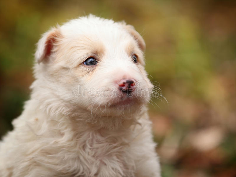 Face a little white puppy in outdoor stock photography