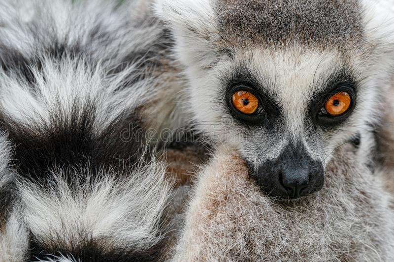 Face with long taill. Detail portrait of cute monkey. Ring-tailed Lemur, Lemur catta, with yellow clear background. Animal from. Madagascar, Africa. Close-up stock photo