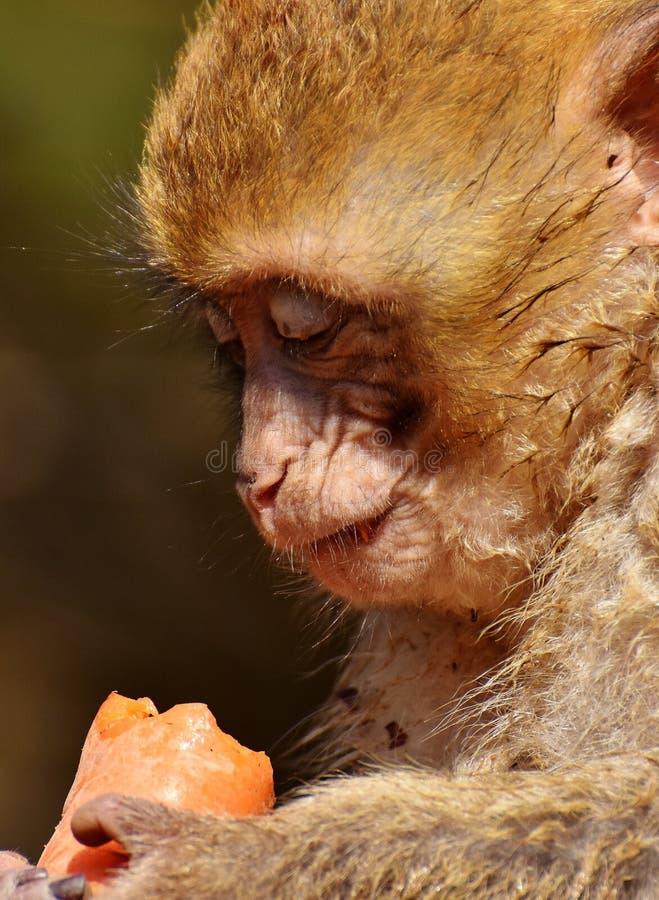 Face, Macaque, Mammal, Fauna stock image