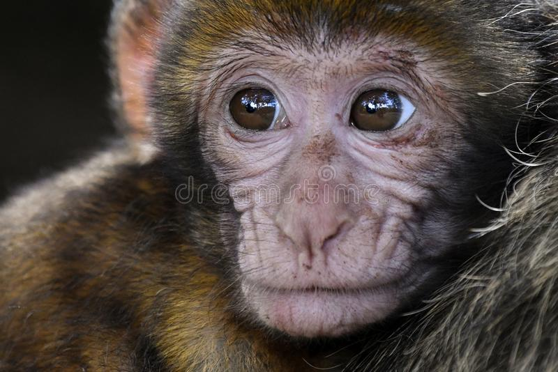 Face, Macaque, Mammal, Primate royalty free stock photography