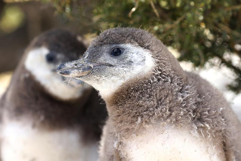Magellanic Penguin Chicks at Punta Tombo, Argentina. One of the largest Colony in the world, Patagonia. royalty free stock images
