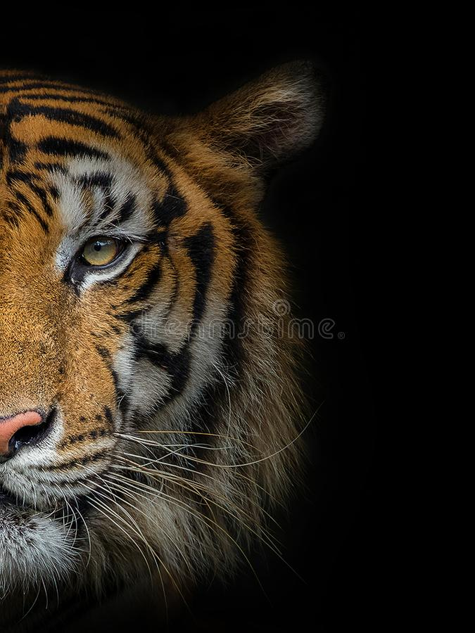 The face of a male tiger. The face of a male tiger on a black background stock photography