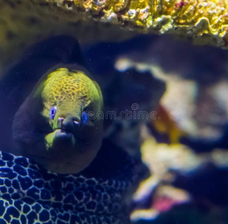 The face of a mediterranean moray eel in closeup, popular aquarium pet, tropical fish specie. Face of a mediterranean moray eel in closeup, popular aquarium pet stock photo