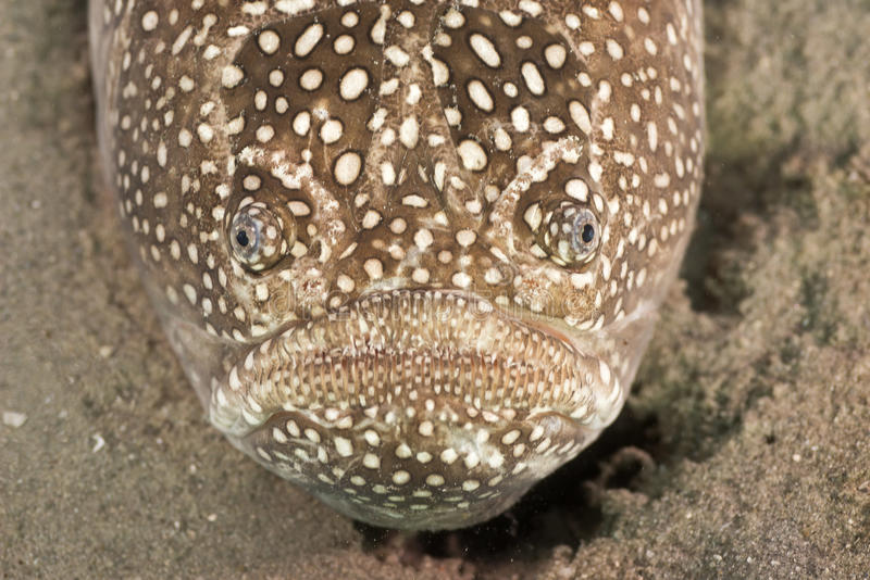 A face only a mother could love. Close up of a Northern Stargazer fish stock image