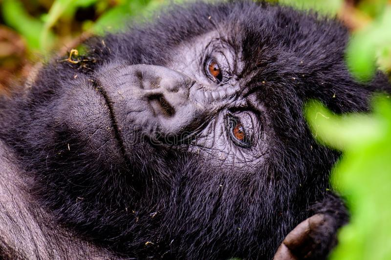 Face of a mountain gorilla laying on the ground. Close up of the face of a mountain gorilla laying on the ground stock photography