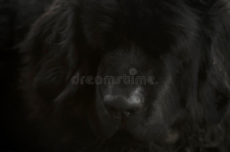 Face of Newfoundland dog close up royalty free stock photo