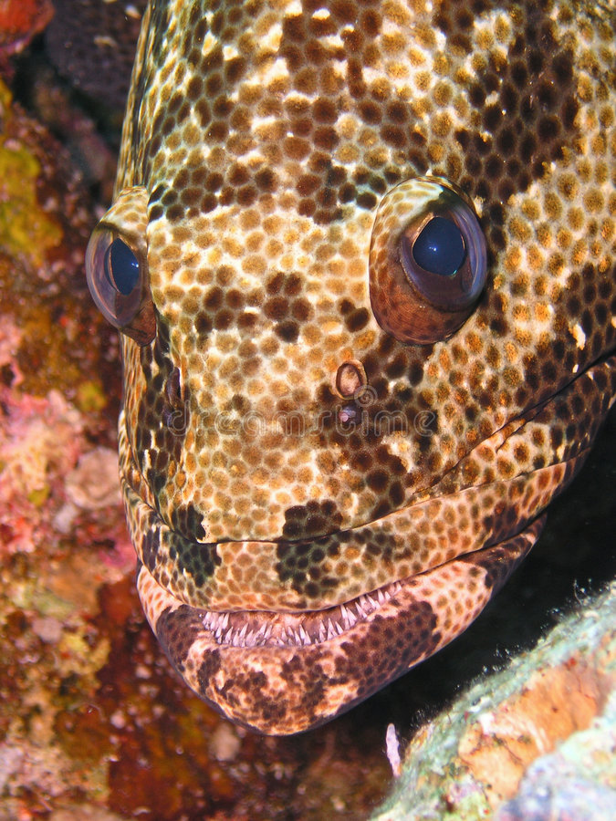 Free Face Of Potato (Malabar) Grouper Royalty Free Stock Photography - 6481327