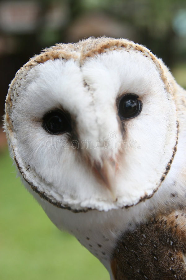 Face of an Owl royalty free stock images