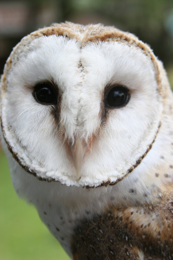 Face of an Owl royalty free stock photos