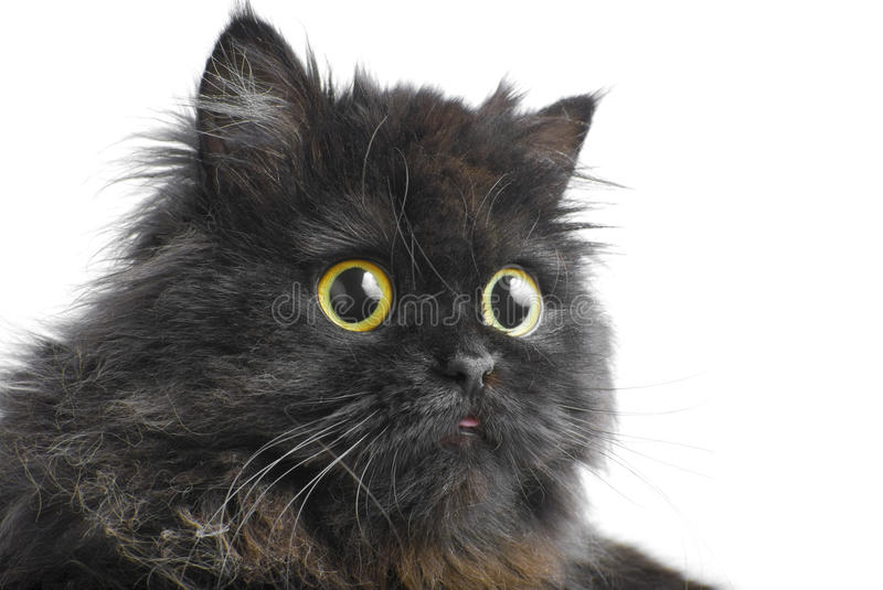 Face of the persian cat | Isolated stock photos