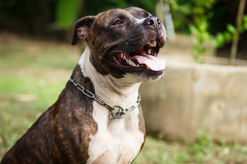 Face of Pitbull dog. In background royalty free stock photo