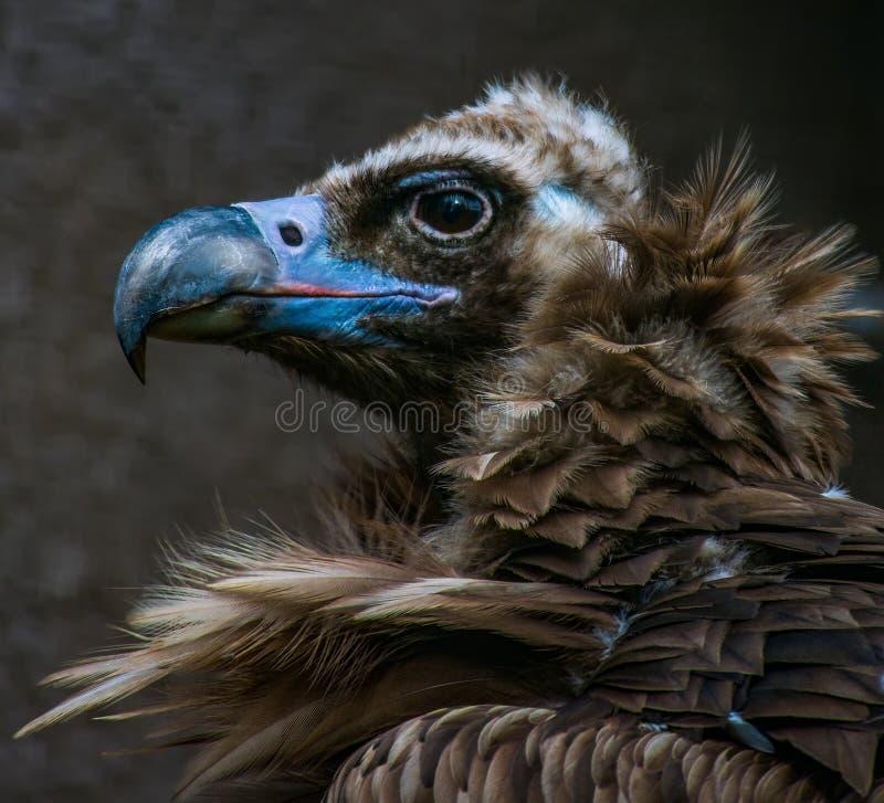 Face portrait of a black cinereous vulture Aegypius monachus royalty free stock image