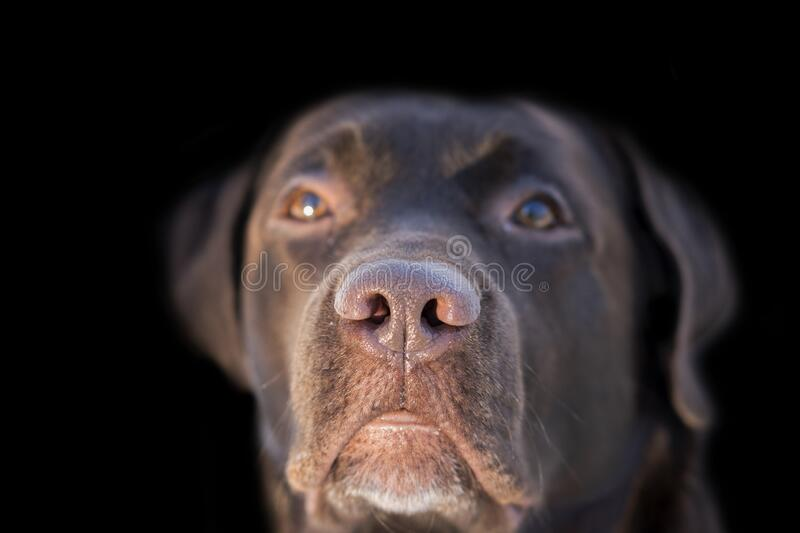 Face portrait of brown chocolate labrador retriever dog isolated on black background. Dog face close up with focus on nose. Young. Cute adorable brown labrador royalty free stock image