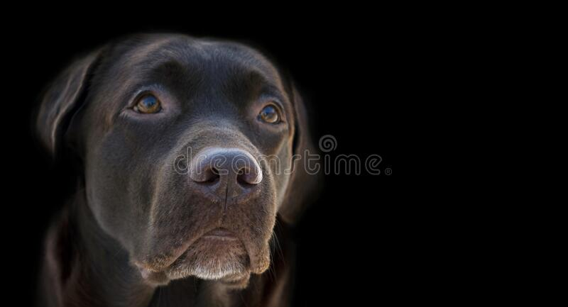 Face portrait of brown chocolate labrador retriever dog isolated on black background. Dog face close up with focus on nose. Young. Cute adorable brown labrador royalty free stock photography
