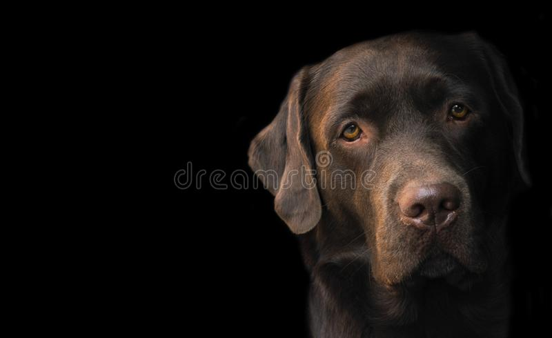 Face portrait of brown chocolate labrador retriever dog isolated on black background. Dog face close up. Young cute adorable brown. Labrador retriever stock image