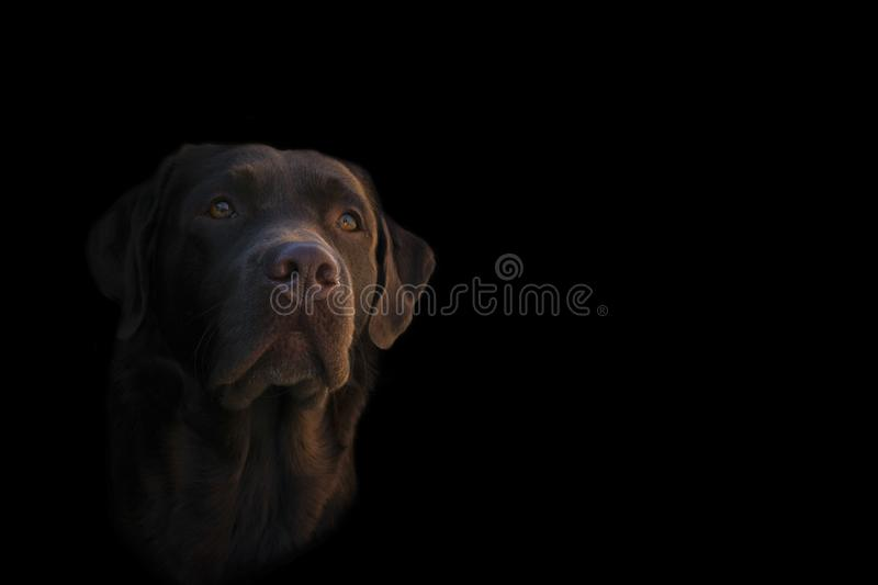 Face portrait of brown chocolate labrador retriever dog isolated on black background. Dog face close up. Young cute adorable brown. Labrador retriever royalty free stock photography