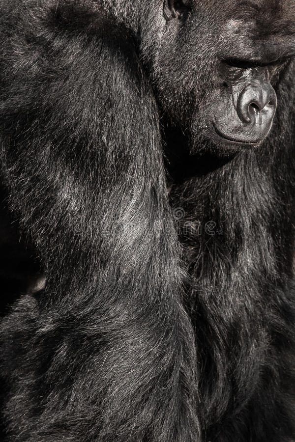 Face portrait of a gorilla male.  royalty free stock images