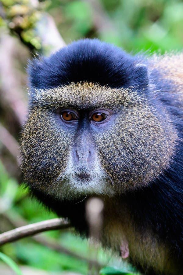 Face of a rare Golden monkey. Head shot of the face of a rare Golden monkey royalty free stock images