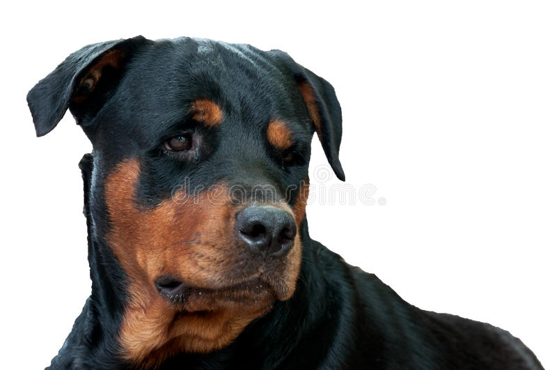 Download Face of rottweiler stock image. Image of looking, isolated - 30602505