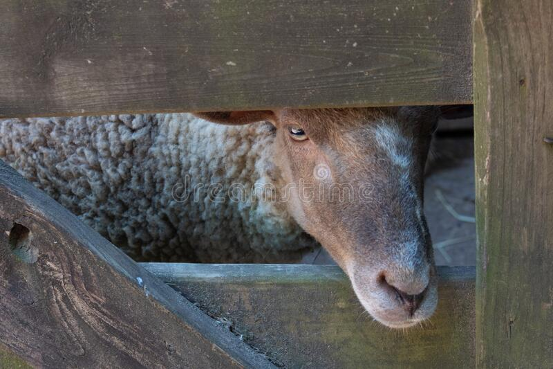 Face of a sheep, nose through opening in an old wooden gate, bucolic rustic scene. Horizontal aspect royalty free stock photos