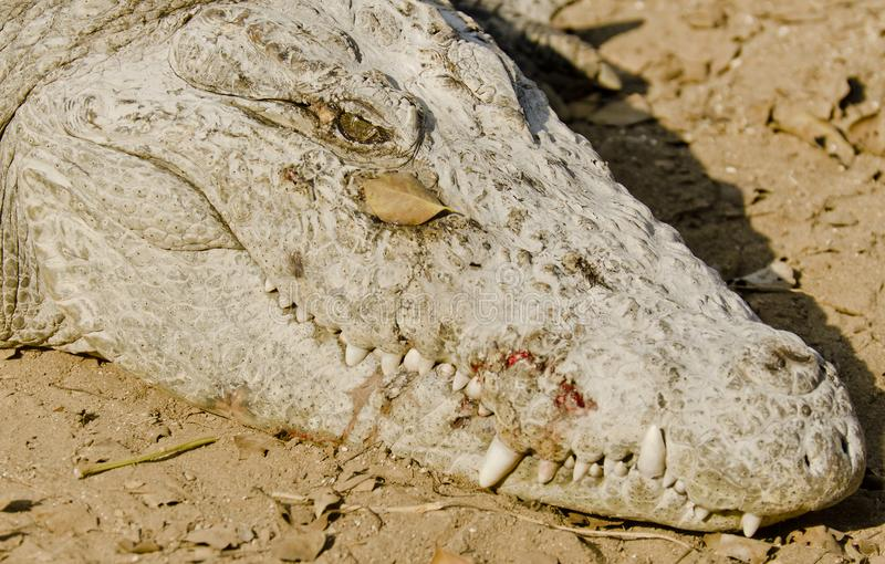 Face shot of a big crocodile. At a zoo on a sunny day stock image