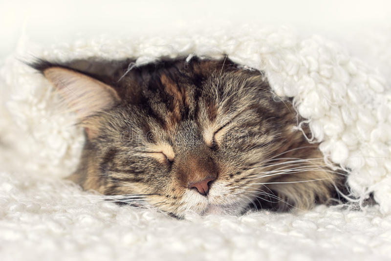 Face sleeping cat royalty free stock images