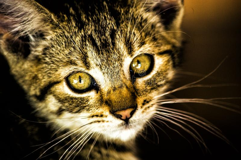 A coy look. The face of a small cat looking at you directly. It can look like a beast royalty free stock photography