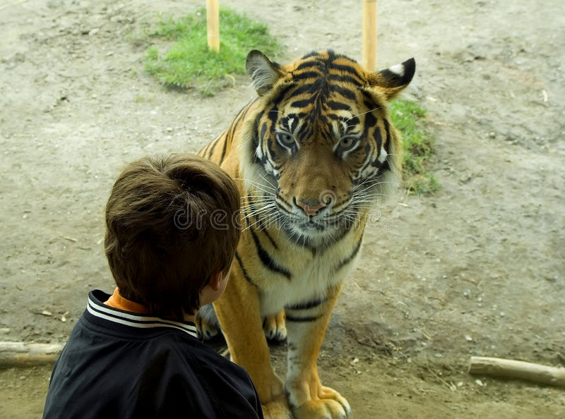 Face to Face. A young boy sits face to face (through the glass) with a Sumatran Tiger. Taken at a zoo, this image is not a fake stock photography