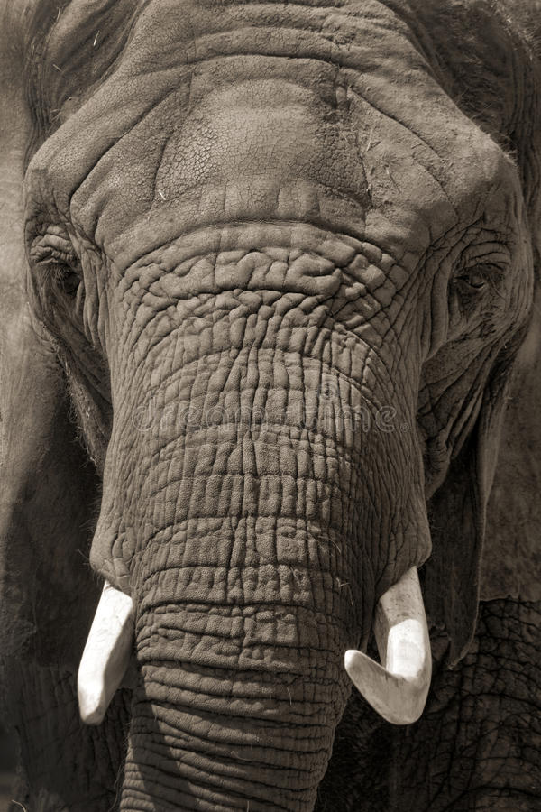 Download Face To Face African Elephant Portrait Stock Photo - Image of tusks, species: 33539178