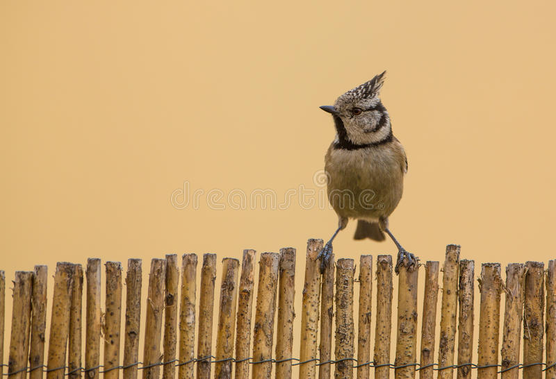 Download Face To Face With The Crested Tit Royalty Free Stock Photography - Image: 30974507