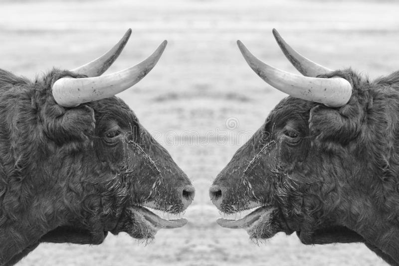 Face to face fight royalty free stock image