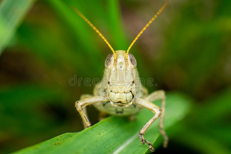 Face to face with a large grasshopper stock image