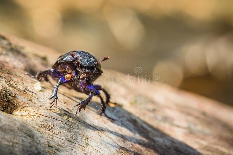 Face to face portrait of black dung beetle royalty free stock image