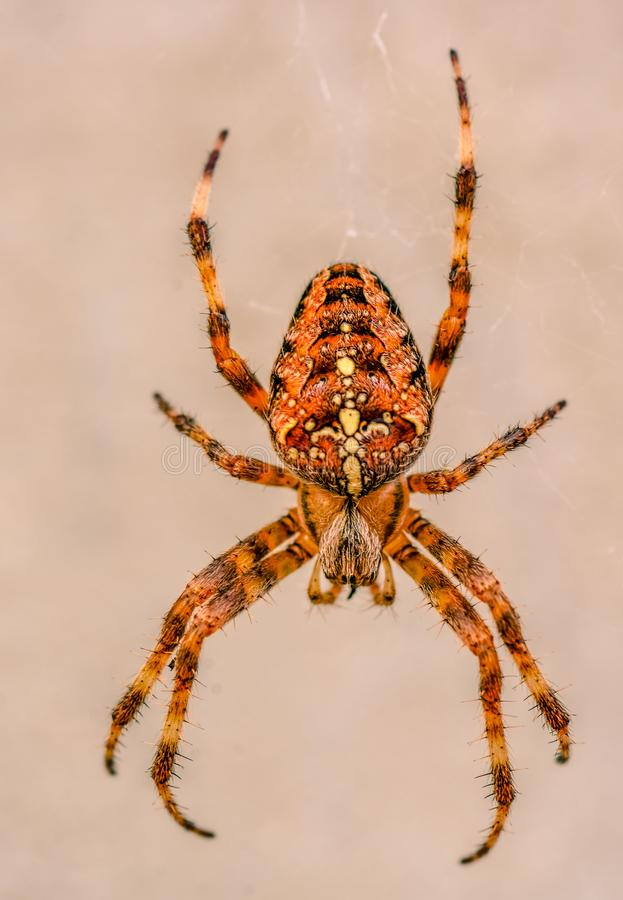 Big spider with orange and black colour next to a house close up and. Face to the spider to show details and colours orange and black. we think his size is big royalty free stock photo
