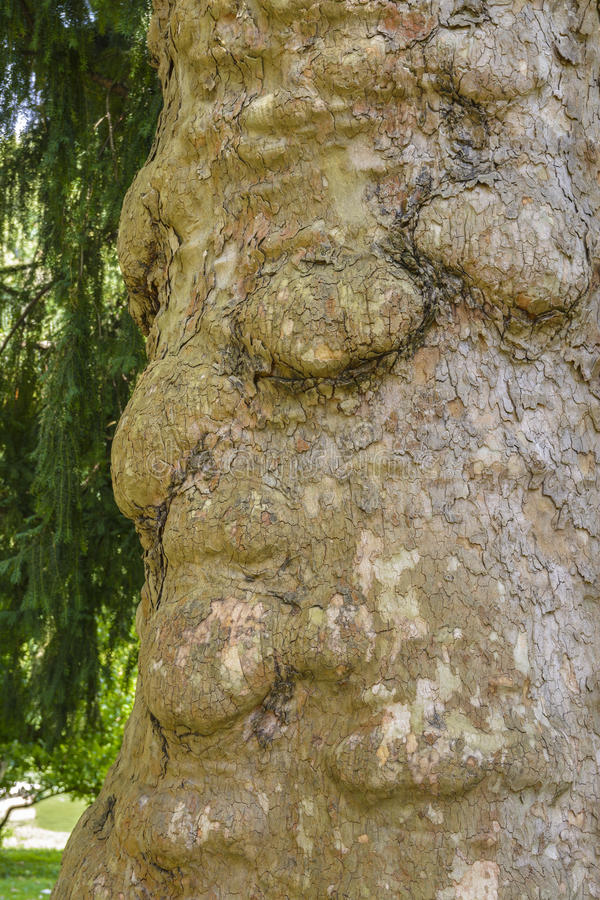 Face on a tree royalty free stock photo